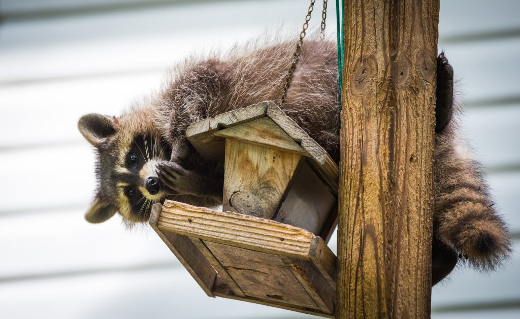 raccoon removal Rochester