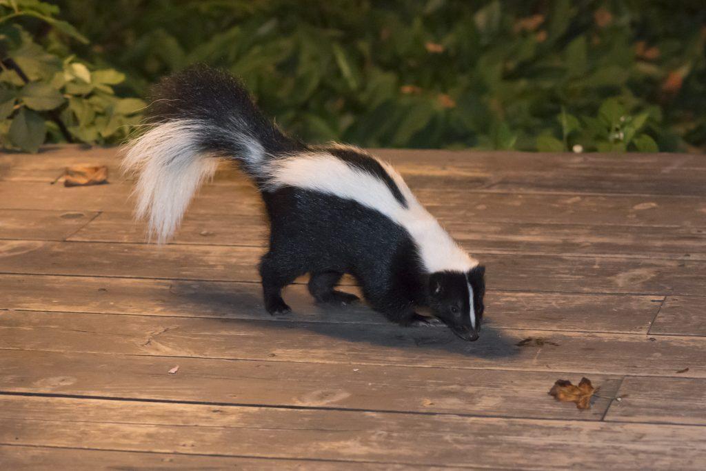 odor free skunk removal rochester