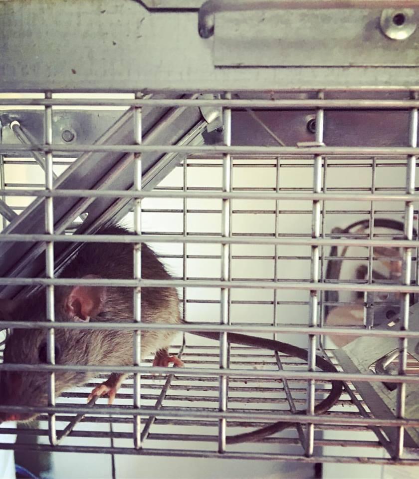 mice rat exterminator Rochester