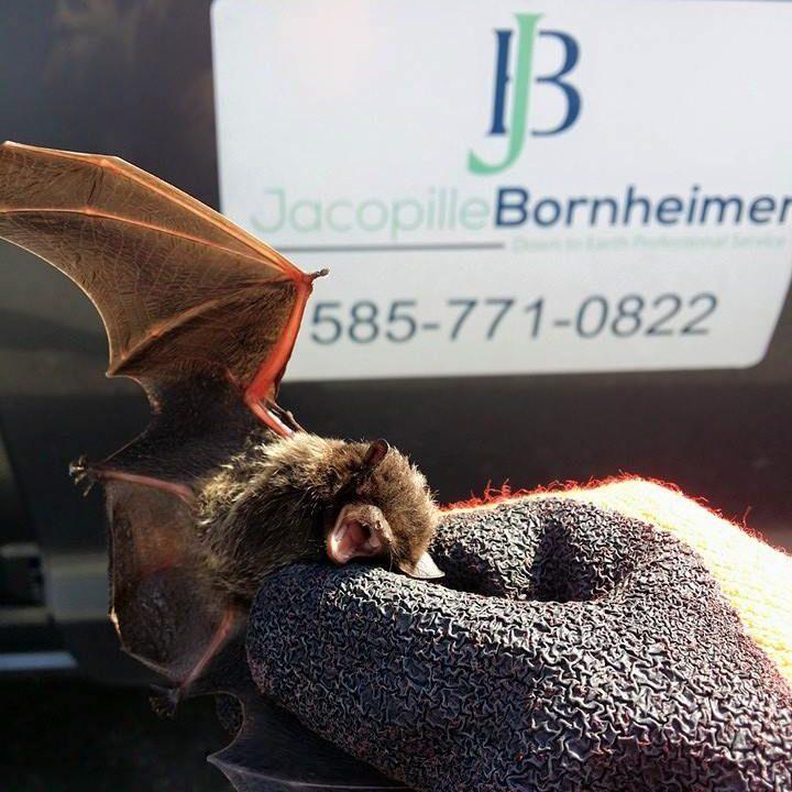 bats in attic Rochester